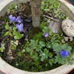 violer og annemoner