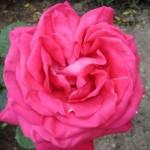 rose fra denne have